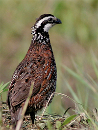 TBooneQuail.png