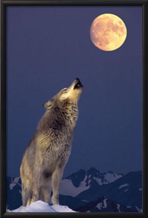 PF_997949~Gray-Wolf-Howling-at-Moon-Posters.jpg