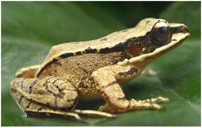 bornean frog2.jpg