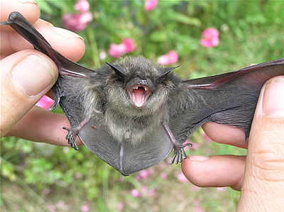 Little Brown Bat 1.jpg
