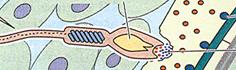 fertilization2.png