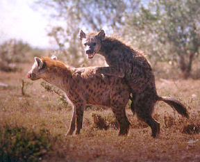 hyena4.png