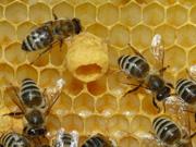 queen bee1.jpg