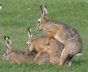 rabbit_sex.jpg