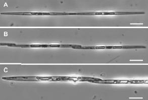 diatom sex1.png