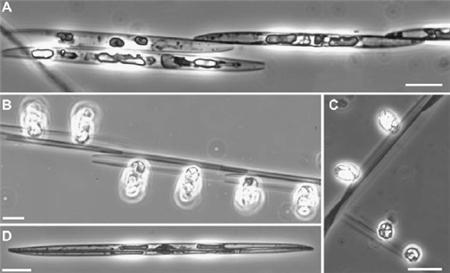 diatom sex5.png