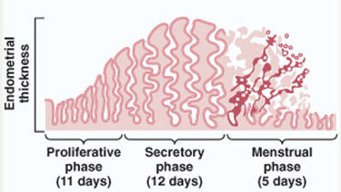 menstrual cycle4.jpg