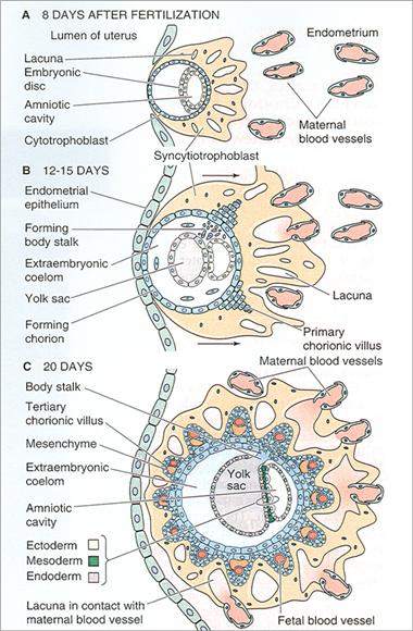 placenta1.png