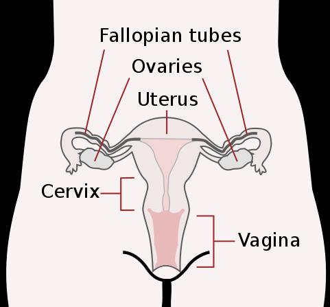 481px-Scheme_female_reproductive_system-en.svg.png